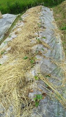 サツマイモ定植2