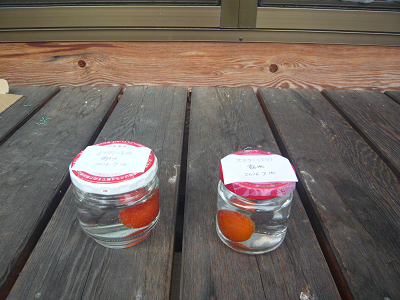 ステラミニトマト腐敗実験開始