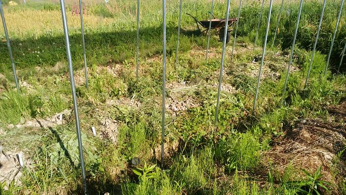 雑草ととも育ちトマト